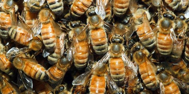 Closeup of honeybees swarming on the queen.