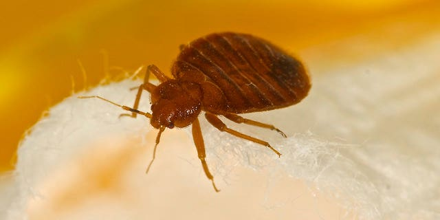 """""""The cabin crew saw bedbugs crawling over the seats — visible to the naked eye,"""" said a source for The Sun."""