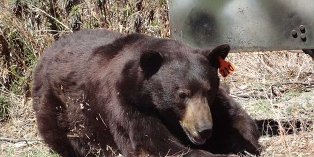 FILE: A bow-and-arrow hunter was hospitalized after being mauled by a balck bear in Southern California.