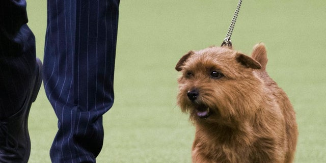 Handler Ernesto Lara leads Winston, a Norfolk terrier, in the ring during the terrier group competition during the 142nd Westminster Kennel Club Dog Show, Tuesday, Feb. 13, 2018, at Madison Square Garden in New York. Winston won best in the terrier group.