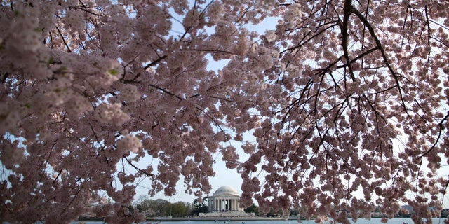The Jefferson Memorial is framed by cherry blossom trees in full bloom along the Tidal Basin in Washington.