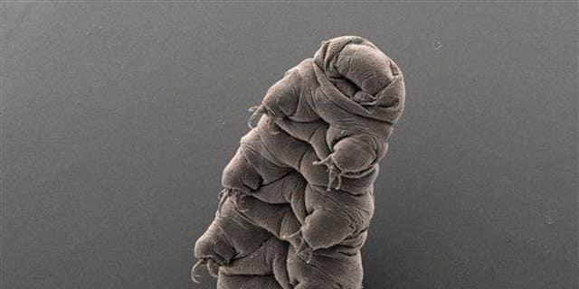 A tardigrade.