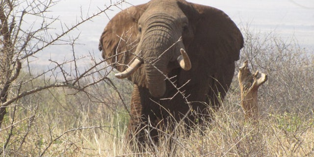The Air Shepherd program hopes to stop illegal poaching of elephant tusks and rhino horns. Ivory has long been a lucrative item on the black market with a single tusk fetching as much as $75,000. (AirShepherd.org)