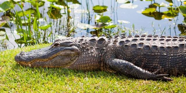 Westlake Legal Group American20Alligator Florida man allegedly gave alligator beer, enticed reptile to bite him fox-news/great-outdoors fox-news/food-drink/drinks/beer fox news fnc/great-outdoors fnc c99f91a9-6fcb-5f03-8439-1071ab514703 article Alexandra Deabler