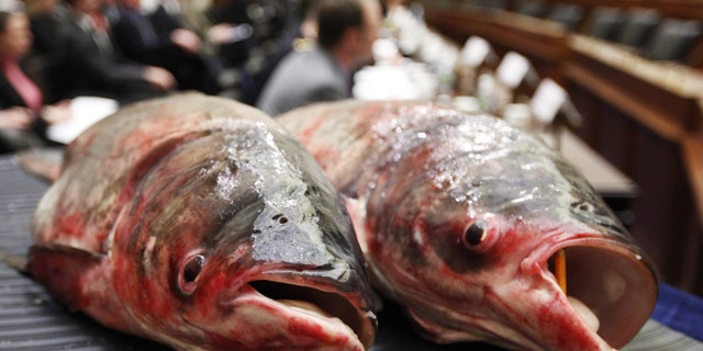 State and federal agencies are at war with the Asian carp, an invasive fish species that can grow up to five feet and weigh more than a hundred pounds. (AP)