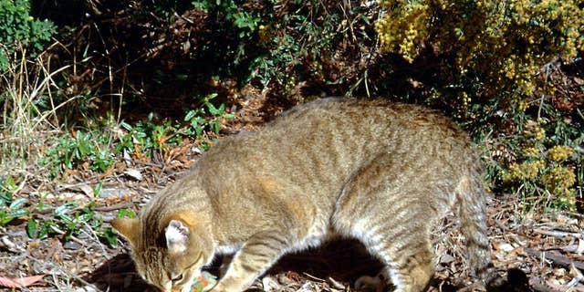 In 2015, the Australian government announced a plan to kill 2 million feral cats by 2020, according to a recent report from The New York Times. Feral cats?have invaded almost the whole continent and have been severely damaging to native species. (AP Photo/Department of the Environment, C. Potter)