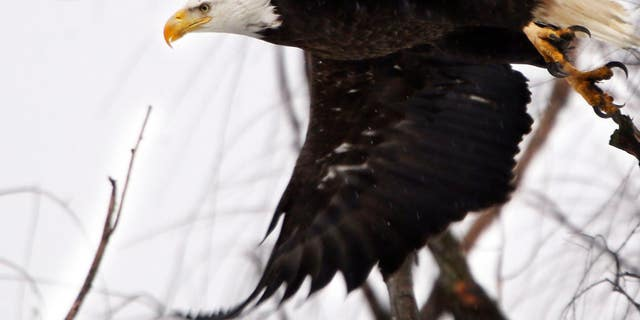 Bald eagle sightings in the Boston area are skyrocketing. And that's great news for the bird and the city.