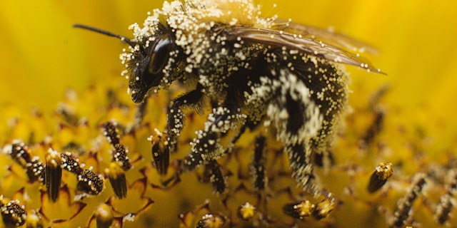 A bee collects pollen from a sunflower.