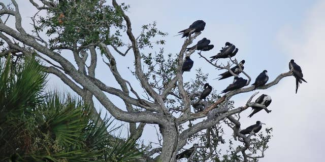 """In this Friday, June 19, 2015 photo, a variety of birds gather in branches at Snake Key, Fla. near Seahorse Key, off Florida's Gulf Coast. In May, Seahorse Key fell eerily quiet, as thousands of birds suddenly disappeared, and biologists are trying to find the reason why. U.S. Fish and Wildlife Service biologist Vic Doig said what was once the largest bird colony on the state's Gulf Coast is now a """"dead zone.""""   (AP Photo/John Raoux)"""