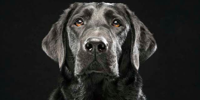 Labrador Retriever en 2013. Les chiens appartenant à la race sont testés comme dépistage COVID-19.