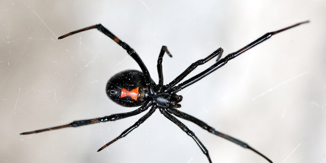 Brown recluse, black widow and other dangerous spiders ...