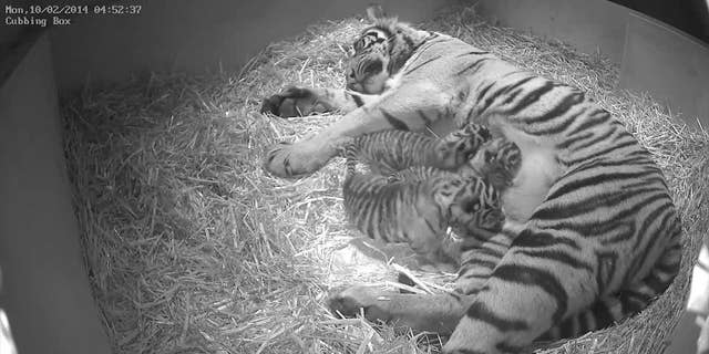 This Monday Feb. 10, 2014 photo issued by the Zoological Society of London (ZSL) on Wednesday March 12, 2014, shows Sumatran tigress Melati with her as yet unsexed triplet Sumatran tiger cubs which were born at the zoo to the five-year-old Sumatran tigress Melati on Feb. 3, 2014 following a 106-day pregnancy. (AP Photo/Zoological Society of London)