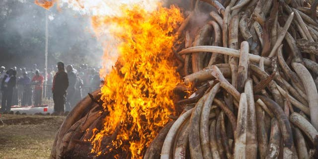 FILE - In this file photo taken March 2015, fifteen tons of elephant tusks are set on fire during an anti-poaching ceremony at Nairobi National Park in Nairobi, Kenya.  Conservationists say it's a possible game-changer in the struggle to curb the slaughter of elephants: a pledge by a Chinese official to stop the ivory trade in a country whose vast consumer market drives elephant poaching across Africa. (AP Photo/Khalil Senosi-File)