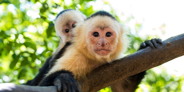 A restaurant in Florida has stopped allowing a couple to bring their monkeys after one of them bit a child.