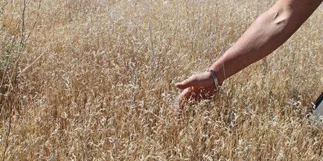 In this June 20, 2012 file photo provided by the U.S. Bureau of Land Management, one of BLM's botanists points out the growing pattern of invasive cheatgrass in southwest Idaho.