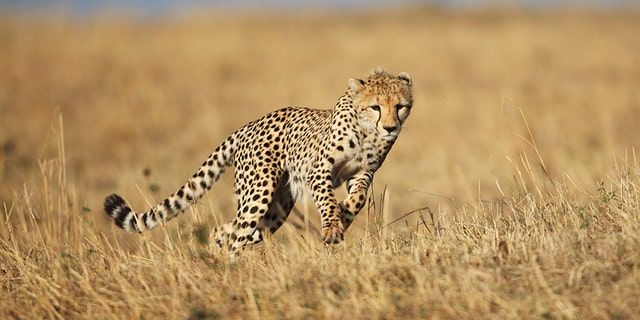 A wild Cheetah running across the savannah grassland of the Masai Mara, Kwenya