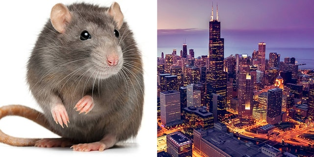Chicago logged over 50,000 rat-related complaints last year, according to data reviewed by Renthop.