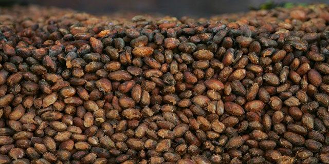 File - This Thursday, Nov. 24, 2005 file photo shows organic cocoa beans in storage at a factory in Ocumare de la Costa, 60 miles west of Caracas, Venezuela. (AP Photo/Fernando Llano)