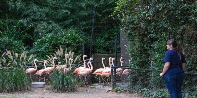 This photo made available by the North Carolina Zoo in Asheboro, N.C., shows a zoo employee watching as flamingos are ushered to a concrete shelter in advance of Hurricane Florence, Thursday, Sept. 13, 2018. (Diane Villa/North Carolina Zoo via AP)