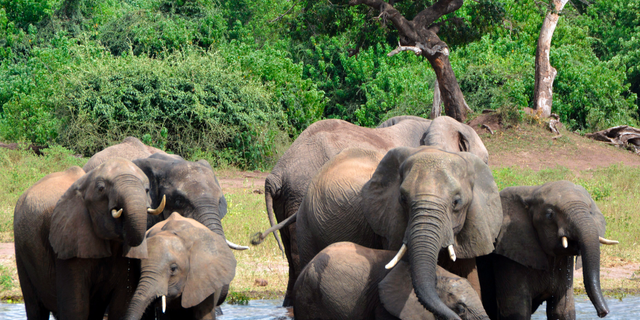 Close to 90 elephants have been found dead near a wildlife sanctuary in Botswana, according to conservationists, as the gentle giants are increasingly being threatened by poachers.