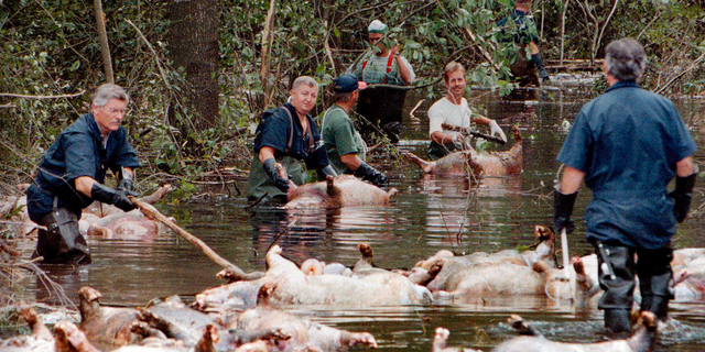 FILE - In this Sept. 24, 1999, file photo, employees of Murphy Family Farms along with friends and neighbors, float a group of dead pigs down a flooded road on Rabon Maready's farm near Beulaville, N.C. The hogs drowned from the floodwaters of the NE Cape Fear River after heavy rains from Hurricane Floyd flooded the area. The heavy rain expected from Hurricane Florence could flood hog manure pits, coal ash dumps and other industrial sites in North Carolina, creating a noxious witches' brew of waste that might wash into homes and threaten drinking water supplies. (AP Photo/Alan Marler, File)