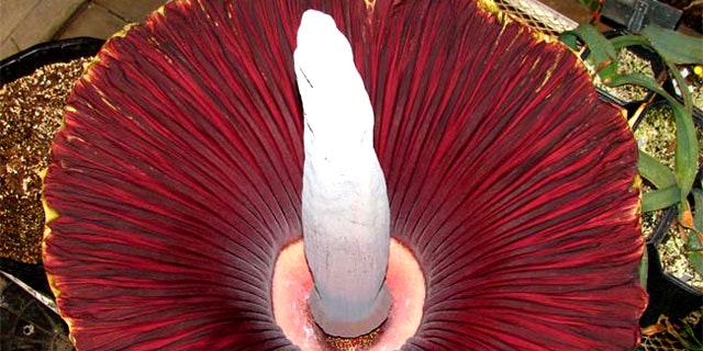 Inside the blooming corpse flower, which gives off the smell of rotting meat.