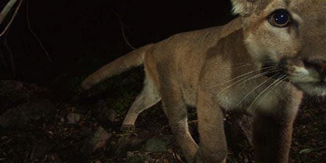 A mountain lion walks near a remote camera in California.