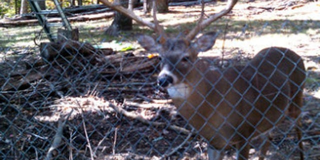 Authorities killed the deer because once they are held by humans, they cannot be released to the wild, Al.com reports.