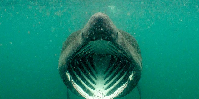 PIC BY Will Clark / CATERS NEWS - (PICTURED A basking shark) These fearless snorkelers were left JAWS-dropped after a huge dorsal fin appeared behind them  but all was not as it seemed. Will Clark, from Somerset, was swimming in waters around the Inner Hebrides archipelago in Scotland last month when he snapped the perfectly-timed photograph. But luckily for the divers, the animal which had come to investigate them was not a deadly great white shark but a much more harmless basking shark. While basking sharks are the second biggest fish in the ocean  with only whale sharks bigger  the gentle giants survive on a human-free diet of plankton and small crustaceans. SEE CATERS COPY