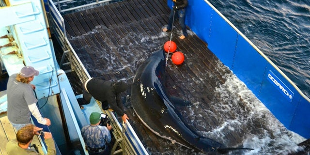 Sept. 18, 2012: Scientists lift a great white shark named Mary Lee so it can be tagged off Cape Cod, Massachusetts. The shark was tracked south to the Florida coast but as of Thursday, January 31, 2013, was again off Long Island, N.Y.