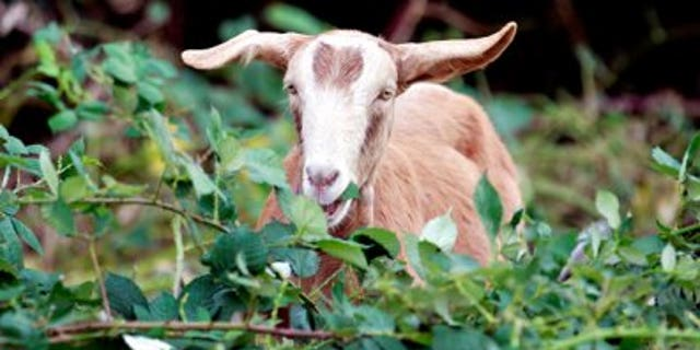 Some 3,600 goats per year will be spared now that Fort Bragg officials have agreed to stop using them for training. (AP)