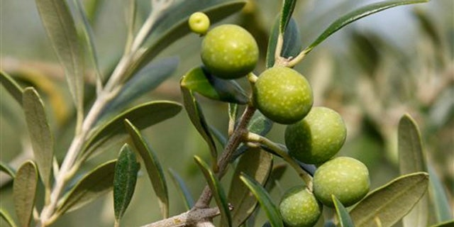 June 27, 2011:  An olive branch with olives soon ready to be harvested are seen on an olive farm in Lakeland, Ga.