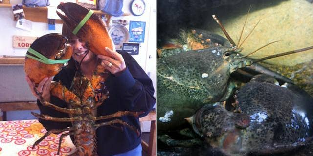 Destined for a toasted buttered roll or blue plate special, an 18-pound American lobster has found a safe home at the New York Aquarium in Coney Island, said the Wildlife Conservation Society.