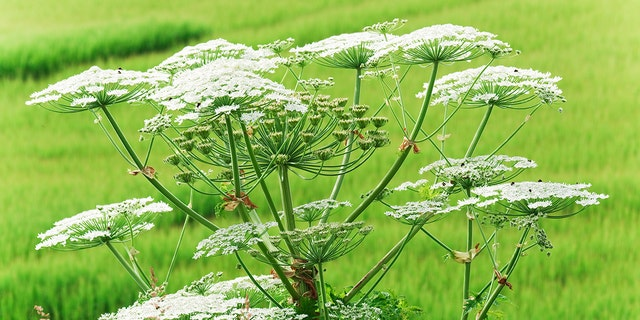 "Cow parsnip can be identified by its ""white flat-topped flower clusters"" and 2.5-foot-wide leaves."