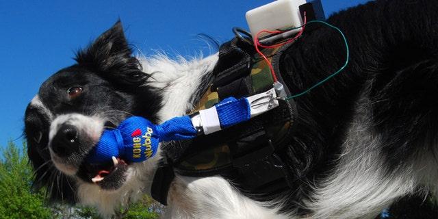 A working dog participates in Georgia Tech's FIDO project.