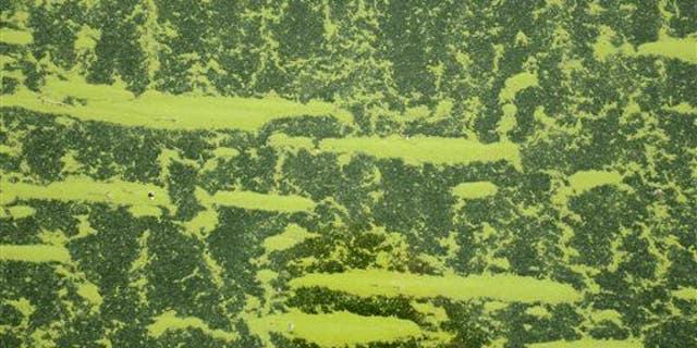 Chlorovirus ATCV-1 is found in algae.