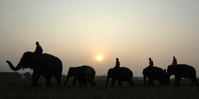 In this Jan. 4, 2007 file photo, elephants come to camp in Kaziranga about 250 kilometers (156 miles) east of Gauhati, India.