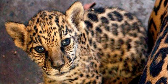 Ramses, a three-month-old Jaguar, is seen in the National Zoo in Managua,  Nicaragua, Wednesday, Feb. 16 2005. The zoo is in need of more aid for the maintenance of the animals. (AP Photo/Esteban Felix)**EFE OUT**