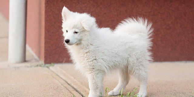 Wang thought she was purchasing a Japanese Spitz (pictured) for $190.