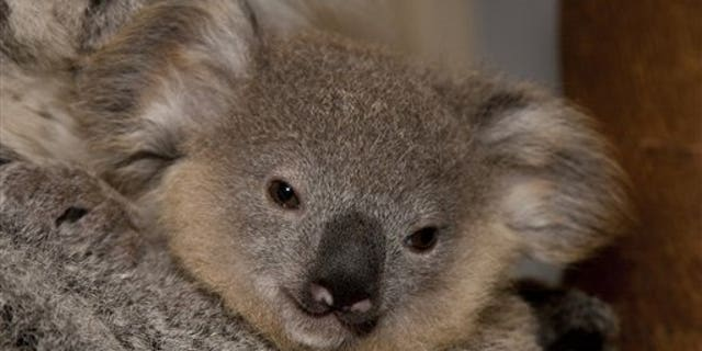 In this photo provided by the San Diego Zoo, a Koala joey named Miah is shown at the zoo on Monday Jan. 18, 2010.