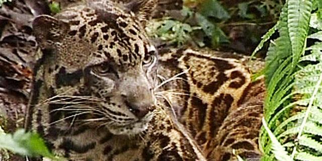 A Bornean clouded leopard in Indonesia.