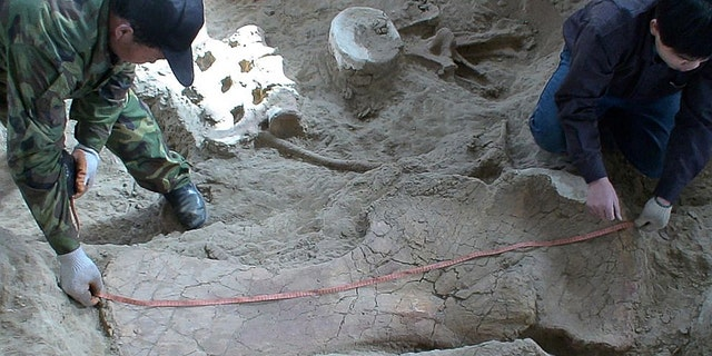 Two technicians measuring a large in situ shoulder bone of Lingwulong shenqi, a newly discovered dinosaur unearthed in northwestern China, appears in this image provided July 24, 2018.