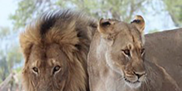 An excerpt of Dr. Andrew Loveridge's book detailed the believed length of time Cecil the lion suffered before he died.