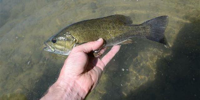 A new study found 85% of male smallmouth bass in the Northeast are undergoing a sex change.