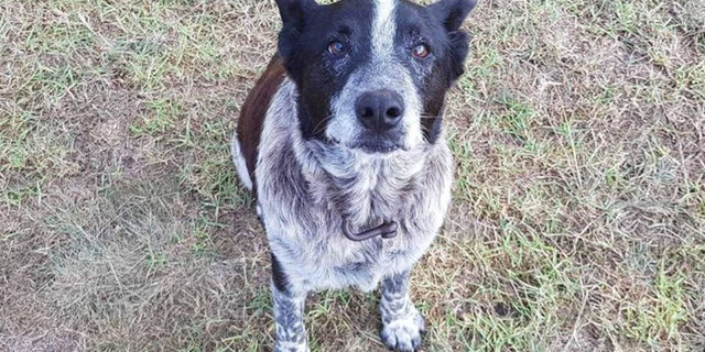 Max, a 17-year-old Blue Heeler from Queensland, Australia, is being praised after spending more than 15 hours in rugged bushland in the rain with a lost three-year-old girl.