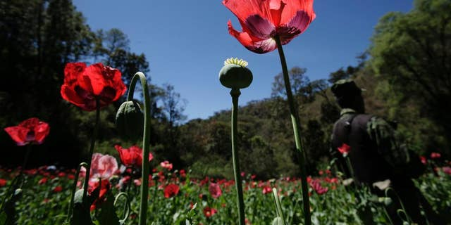 FILE - In this Thursday, March 4, 2010 file photo, a soldier stands on a poppy field, during eradication supervised by the Mexican Army on the outskirts of Morelia, Mexico. Mexican navy personnel said Monday, Aug. 17, 2015, they found and destroyed a six-acre (2.4 hectare) opium poppy plantation near the nation's capital. Poppy plantations are in Mexico are usually smaller plots located in the remote mountains of Guerrero state in the south, or the mountains of Chihuahua, Sinaloa and Durango states in the north. It is rare to find such a large plot so near the capital. (AP Photo/Carlos Jasso, File)