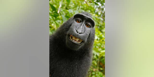This 2011 photo provided by People for the Ethical Treatment of Animals (PETA) shows a selfie taken by a macaque monkey on the Indonesian island of Sulawesi with a camera that was positioned by British nature photographer David Slater. (AP)