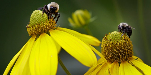 July 12, 2012: Bees collect pollen from flowers in Matthews, N.C.