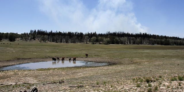 This photo shows livestock drinking from a watering hole, June 20, 2014, near Crystal, N.M.