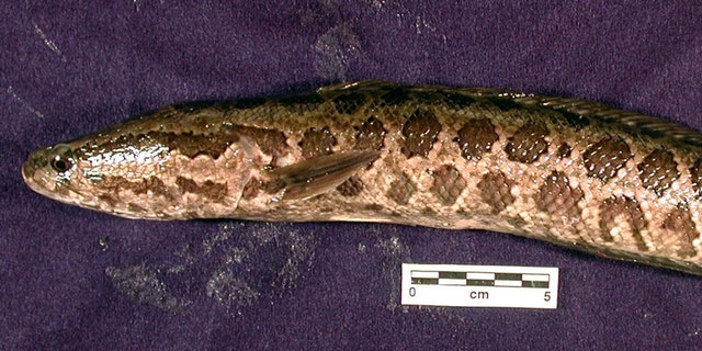 "A northern snakehead is also known as a ""frankenfish."""